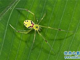 笑蜘蛛有一张人类的笑脸 是一种五毒的彩色蜘蛛