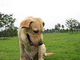 世界十大最忠诚犬综合指数排名中国园林狗排名第三