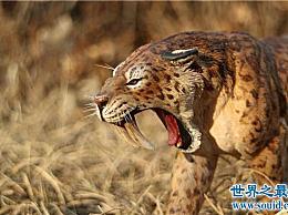 不同的剑齿虎同时是最大的剑齿虎和最凶猛的老虎