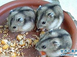 世界上最便宜的仓鼠 三线仓鼠(每只5元)