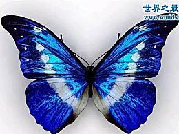世界上最美丽的蝴蝶 光之女神蝴蝶(高贵和最好的蝴蝶品种)