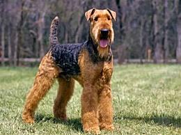 世界上最难训练的十大狗品种 达尔马提犬排在第一