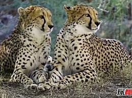世界十大最快陆地动物 森林之王 仅排名第六