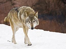现存最大的犬科动物:灰狼 长2.5米(最重的重量是96.2公斤)