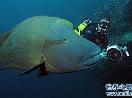 世界上最大的珊瑚鱼 2米苏梅鱼重400公斤 但很美味