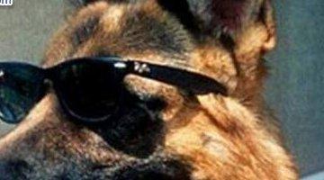 世界上最富有的宠物:牧羊犬冈瑟四世(价值25亿元)