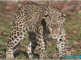 世界上最大的豹 波斯豹可以接近2米长