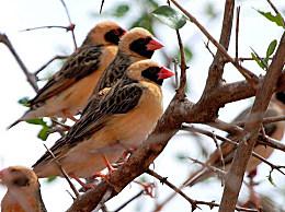 世界上数量最多的鸟类:红嘴奎利亚雀 在非洲多达100亿只