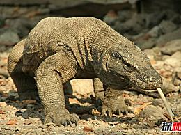 世界上最大的蜥蜴 科莫多巨蜥有3米长(12人死于毒液)