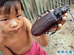 关于虫子 世界上最大的甲虫比你的手掌还大