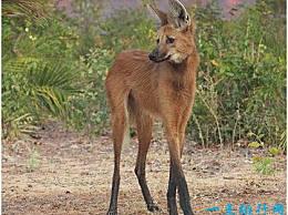 世界上腿最长的犬科动物,鬃狼站立时像踩着高跷