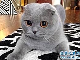 折耳猫的遗传疾病是什么?让我们互相了解一下吧!