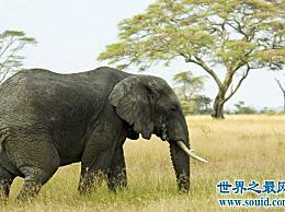 大象的寿命约为80岁 与人类相似