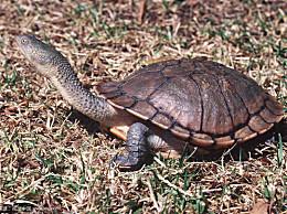 世界上脖子最长的乌龟可以达到50厘米 它的脖子和它的甲壳一样长