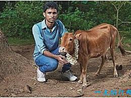 世界上最小的牛 只有61.5厘米高 不到半个人高