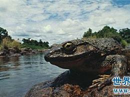 什么样的非洲喀麦隆巨蛙是世界上最大的青蛙