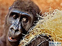 最凶猛的大猩猩逃跑了 工作人员被踢开了