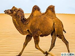 最愤怒的骆驼 咬掉主人的头