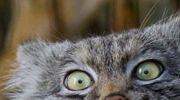 世界上最凶猛的猫:帕拉斯猫已经有500万年没有进化了