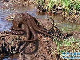 沼泽章鱼――我们担心我们不会看到一亿年后会出现的新物种