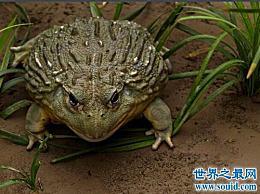 世界上最大的青蛙 体长超过一米!