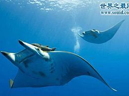 世界上最温和的鱼 蝙蝠鱼(深受潜水员的喜爱)