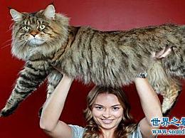 世界上最大的猫――缅因猫(高大的外表 温柔的心)
