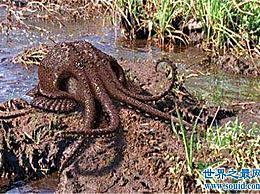 沼泽章鱼毒性很强 喜欢藏在浓密的水生植物中