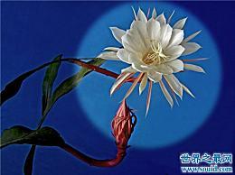 世界上最美丽的花是月亮下美丽的昙花
