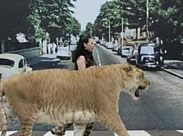 老虎(老虎的两倍大) 狮子和老虎的杂交产物 世界上最大的猫