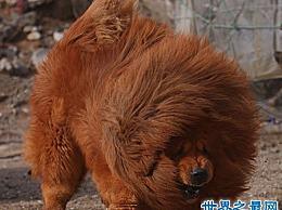 藏獒中哪种品种的红獒能咬死人