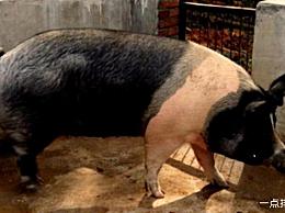 中国十大地方猪种排名中国哪种猪最好