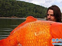 世界上最大的金鱼 不能放进鱼缸的金鱼