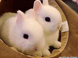 世界上最小的兔子 荷兰矮兔(它只有1.2公斤长)