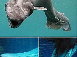 皱纹鳃鲨是最原始的鲨鱼种类 一种吃鲨鱼的鲨鱼