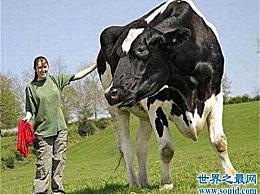 世界上最高的牛 是普通牛的两倍大(将近2米高)