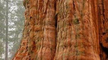 世界上最大的树 谢尔曼将军树(高达33米)