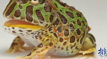 世界上最凶猛的青蛙 钟角蛙(会攻击所有经过它的动物)