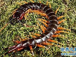 算上世界十大蜈蚣 最长的蜈蚣有半米!