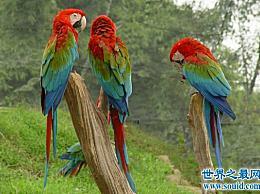 世界上最大的金刚鹦鹉国家保护动物濒临灭绝