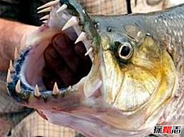 世界上最大的食人鱼:金猛鱼(体长133厘米 体重50公斤)