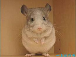 世界上最可爱的老鼠 不仅外表可爱 而且行为有趣
