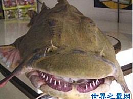 最大的鲶鱼实际上重293公斤 吃东西需要多少年?
