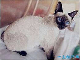 世界上耳朵最大的猫 一对像精灵一样的大耳朵