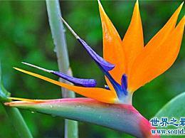 世界十大最美的花 天堂鸟真的像一只鸟