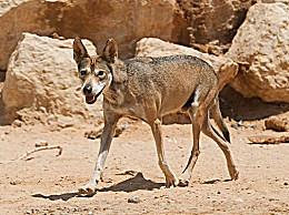 世界上最小的狼:阿拉伯狼 17天不吃东西(只有18公斤)