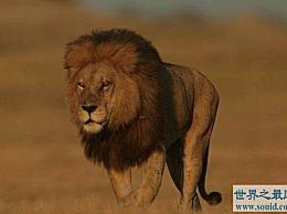 世界上最大的狮子在100多年前就灭绝了