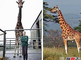 世界上最高的长颈鹿 高达6米(世界上最大的长颈鹿/高得让人无法拒