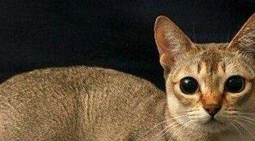 世界上最小的猫:新加坡猫 体重不超过2公斤