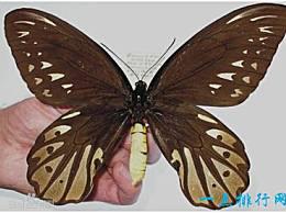 世界上最大的蝴蝶 亚力山大鸟翼 展开翅膀长达31厘米